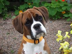 dogs | Cute Boxer Puppy - Dogs Wallpaper
