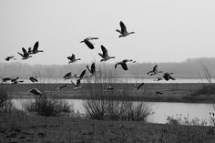Claes`s Photo blog: flying birds of the wetlands