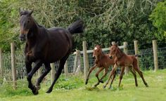 A rare sight: Twin foals Leo and Corby chase their mother Georgie