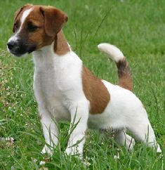 Description from jackrusseldog.net. I searched for this on bing.com/images
