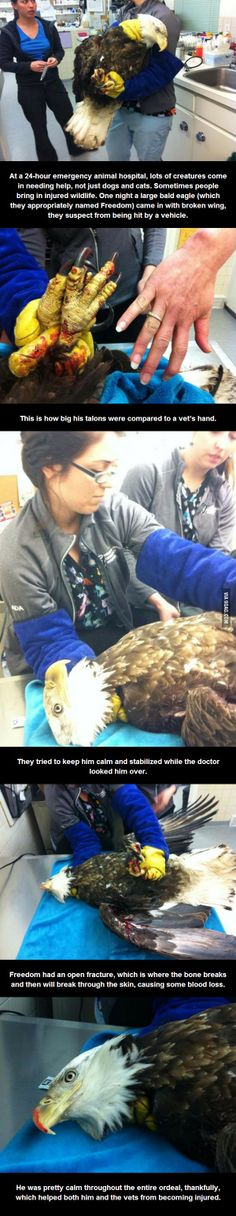 A bald eagle came into the Animal Hospital...