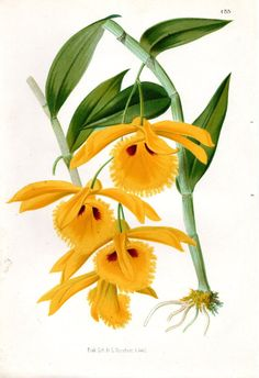 1873 Orchid Yellow Botanical Antique Flower by AntiquarianPrints, $40.00