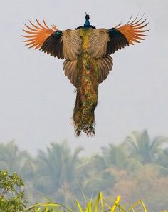 A peacock taking off