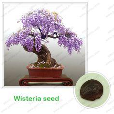 Semillas de glicina, árbol bonsai Wisteria sinensis 100% verdadera semilla de tiro en especie, 10 unids/bolsa