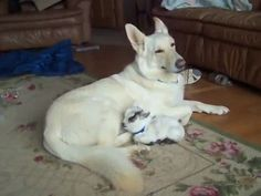 German shepherd caring for a baby goat