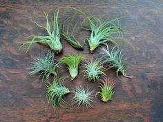 The large air plant kit, perfect for starting your terrariums and decorating your whole house with air plants. $29.99