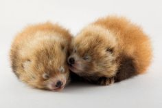 Two Baby BABY Red Pandas