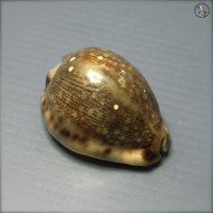 Seashell, Cypraea arabica asiatica f. gibba, Philippines, 51mm