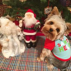 When you said I was going to be Santa's  little helper you didn't mention there would be TWO Santas !  Happy Wednesday pawfriends! Just eight more days until Christmas! And I'd like to wish my dear friends @abcfff1 a very happy birthday!  #teddythetinyterrier #yorkie #yorkshireterrier #dog #christmas #petsmart #marthastewartpets by teddy_the_tiny_terrier