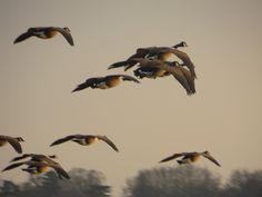 Geese in flight 22/01/15