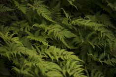 Bregner Parsley, Herbs, Herb, Spice