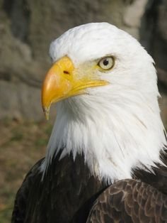 LOOK AT HIS BEAK ITS THE EAGLE THAT SURVIVED A FIGHT WITH NO BEAK