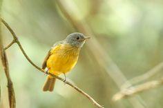 Foto abre-asa-de-cabeça-cinza (Mionectes rufiventris) por Helberth C. Peixoto | Wiki Aves - A Enciclopédia das Aves do Brasil