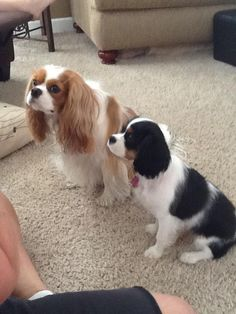 Learning to wait Cavalier King Charles Spaniels