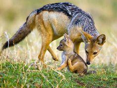 El chacal de lomo negro o de gualdrapa (Canis mesomelas) Tene un período de…