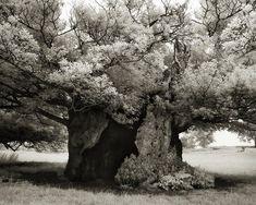 arbre majestueux 19