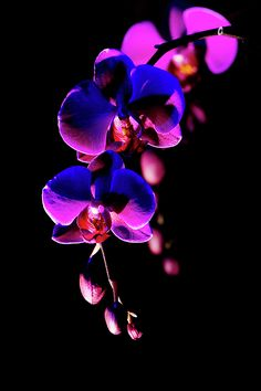 Vibrant Orchids by Ann Bridges Vibrant pink  Orchids on a black background
