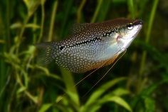 Pearl Gourami, depending on the behaviour of the schooling fish. Some bigger fish, like this one, could really help balance out the tank.