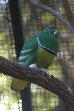 Cardinal Bird House, Cardinal Birds, Pigeon Pictures, Bird Pictures, Exotic Birds, Colorful Birds, Pigeon Breeds, Dove Pigeon, Dove Bird