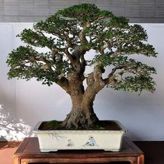 Very Attractive Bonsai Indoor Trees Ideas For Indoor Decorations 13 - Trendehouse