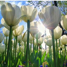 Field of white tulips shimmering in the sun.