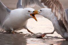 Territorial Gulls by Chris Corradino