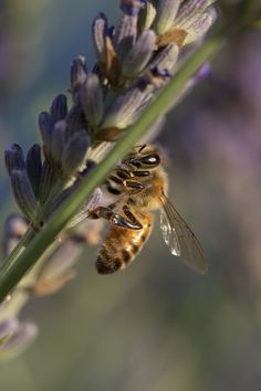 Bee hard at work on lavender.