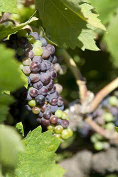 The climate here allows the grapes to be picked fully ripe.