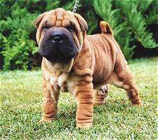 some days I just want to play with a bunch of shar pei puppies...theyre.so.cute.