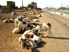 Goats for sale on one of the main roads, Khartoum (2008)