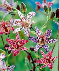 Paddenlelie mix (Toad lilies) shade plants...careful though...buy virus free, those with a virus have unusual markings and though gorgeous, they can hurt the species as a whole.