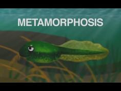 """Metamorphosis (Tadpole Into a Frog)"" song about frog life cycle for ele..."