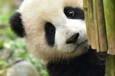 Panda Fact: These magnificent mammals are omnivores. But whilst pandas will occasionally eat small animals and fish bamboo counts for 99 percent of their diet. Niedlicher Panda, Panda Love, Cute Panda, Wild Panda, Cute Baby Animals, Animals And Pets, Funny Animals, Wild Animals, Small Animals