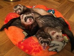 #family #gang_family #friends #friendsforever #ferret #ferretsofinstagram #petstagram #petsofinstagram #petlovers #pets #animal #animallovers #mybaby #mylife #mylove #loveit #lovelovelove #love #chubby #cute #funnypic #funny #picoftheday #❤️❤️❤️❤️❤️❤️❤