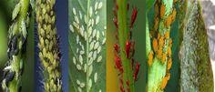 Κοινοποιήστε στο Facebook Από την αρχή ως και το τέλος του καλοκαιριού οι υψηλές θερμοκρασίες και ο ξηρός αέρας ταλαιπωρούν τα φυτά και το πέρασμα του χρόνου κάνει εμφανή τα σημάδια του κυρίως στα πιο αδύναμα. Ο τετράνυχος, οι αφίδες... Garden Guide, Flowers, Facebook, Royal Icing Flowers, Flower, Florals, Floral, Blossoms