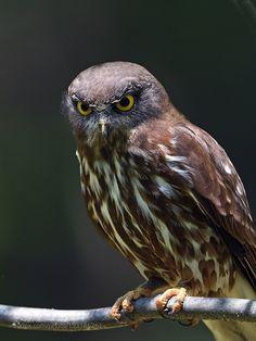 Brown Hawk Owl by ysbae491 #animals #animal #pet #pets #animales #animallovers #photooftheday #amazing #picoftheday