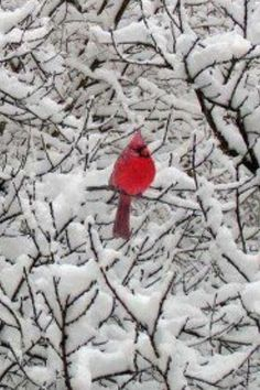 I delight in the fact that Cardinals are still around in the Winter. They light up the scenery when it snows and they put a brilliance in a gloomy, cloudy day.