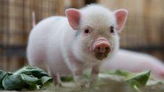 Verkleinert: Im Zoo von Hannover wurden acht Miniatur-Schweine geboren.  Credit: EPA