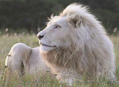 Discover the lesser known game park Pumba Private Game Reserve in South Africa home to the critically endangered White Lions by aptouring Moon In Leo, Majestic Animals, Game Reserve, Picture Quotes, Adventure Time, South Africa, Safari, Cruise, Wildlife