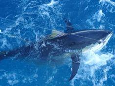 Puerto Vallarta yellow fin tuna fishing!