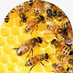 Les Bienfaits Thérapeutique du Miel et du Cannabidiol CBD sur la Santé Bee Problem, Bee Pictures, Spice Bread, Royal Jelly, Honey And Cinnamon, Massachusetts, It Hurts, Boston, Stuffed Mushrooms
