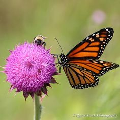 Here is Day 7 of 7 in the @vicwestphotography Nature Challenge! I am grateful to @loniles for nominating me to the challenge! Go check out both of their accounts for great nature photos - I promise you won't be disappointed!  My photo today is one of my favorite subjects: the monarch butterfly. This one is joined by a bumble bee companion on a sunny August morning when there was plenty of nectar to go around. The shot was taken in a prairie preserve along the St. Croix River in Minnesota…