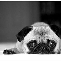 More Pug Love <3
