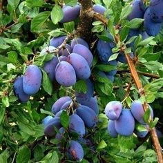 Italian Plum Tree - Cold hardy, heavy producing and everbearing! (2 years old and 3-4 feet tall.)