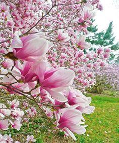 Morris Arboretum's Japanese Cherry Blossom Festival Returns Saturdays, April 14 And 21 | Uwishunu - Philadelphia Blog About Things to Do, Events, Restaurants, Food, Nightlife and More