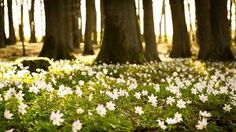 Find images and videos about gif, white and flowers on We Heart It - the app to get lost in what you love. Frühling Wallpaper, Spring Desktop Wallpaper, Flower Wallpaper, Nature Wallpaper, Hd Desktop, Forest Wallpaper, Laptop Wallpaper, Forest Flowers, Flowers Nature