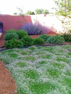 A thyme lawn - Needs no mowing or watering, blooms purple in the summer, and smells lovely when you walk on it.