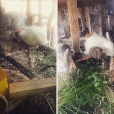 > Venta de conejos al por mayor y detalles contactar al 829-601-5195  #Jaraguenses
