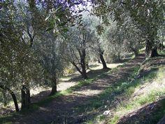 Print PDF  Huile d'olive de Nice AOC et BIO L'huile d'olive de Nice est protégée par une appellation d'origine contrôlée (AOC) depuis un décret pris par l'INAO le 26 novembre 2004 et paru au Journal officiel le 28 novembre 2004. Historique Antiquité Justin,...