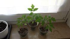 Tomaten: Stand vom 21.04.15  wachsen und gedeihen gut :)